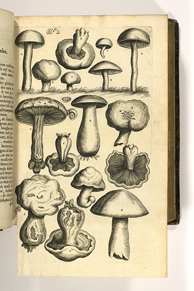 <p>Ghemeyne campernoelien [common mushrooms], copper-plate engraving by Peeter van Sickeleers (fl.1674–1705) after a watercolor possibly by Esaye le Gillon (dates unknown) intended for Carolus Clusius (1526–1609), <em>Rariorum Plantarum Historia</em> (1601), for Francis van Sterbeeck (1631–1693), <em>Theatrum Fungorum</em> (Antwerp, Joseph Jacobs, 1675, pl. 2), HI Library call no. DT9 S814t.</p>