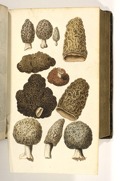 <p>Moerbesi fungi [mulberry mushrooms], watercolor by an unknown artist after a copper-plate engraving by Peeter van Sickeleers (fl.1674–1705) for Francis van Sterbeeck (1631–1693), <em>Theatrum Fungorum</em> (Antwerp, Joseph Jacobs, 1675, pl. 10), HI Library call no. DT9 S814t.</p>