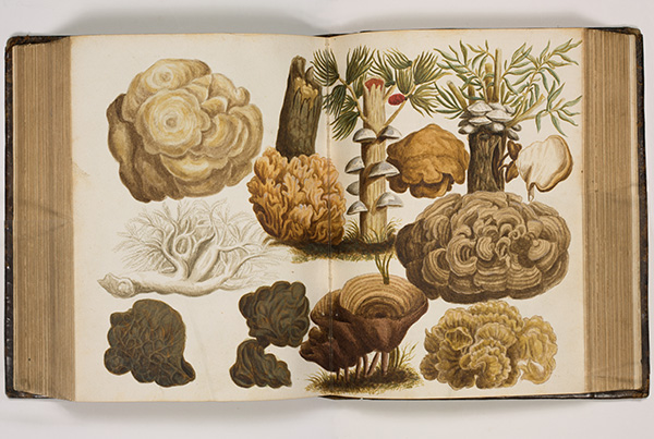 <p>Boom fungi [tree mushrooms], watercolor by an unknown artist after a copper-plate engraving by Peeter van Sickeleers (fl.1674–1705) for Francis van Sterbeeck (1631–1693), <em>Theatrum Fungorum</em> (Antwerp, Joseph Jacobs, 1675, pl. 27), HI Library call no. DT9 S814t.</p>