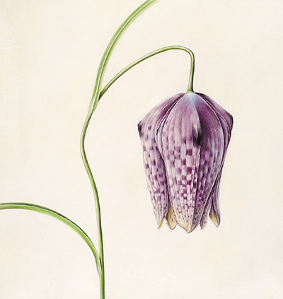 <p>Fritillaria meleagris [<em>Fritillaria meleagris</em> Linnaeus, Liliaceae], watercolor on vellum stretched over board by Celia Hegedüs (1949–), 2002, 30.5 × 30.5 cm, HI Art accession no. 7730, reproduced by permission of the artist.</p>
