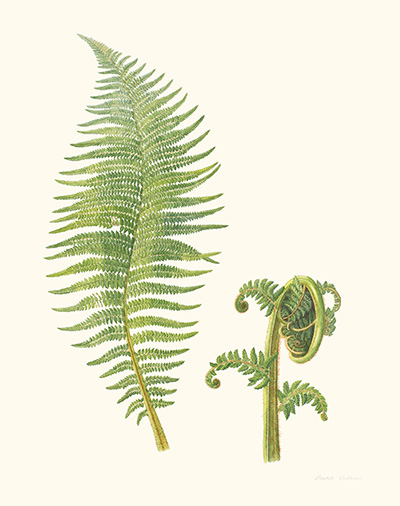<p>Soft Tree Fern, Dicksonia antarctica [<em>Dicksonia antarctica</em> Labillardière, Dicksoniaceae], watercolor on paper by Laurie Andrews (1936–), 2008, 76.5 × 56.5 cm, HI Art accession no. 8078, reproduced by permission of the artist.</p>