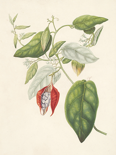 <p>[<em>Adenia cordifolia</em> Engler, Passifloraceae], watercolor by Johan Christian Peter Arckenhausen (1784–1855), 41 × 29 cm, for C. L. Blume, <em>Rumphia</em> (Leiden, 1835, vol. 1, pl. 48), reproduced courtesy of the Nationaal Herbarium Nederland.</p>