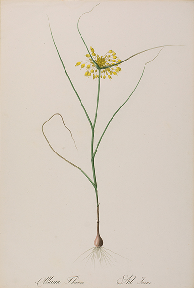 <p>Allium flavum, Ail taune [<em>Allium flavum</em> Linnaeus, Liliaceae], stipple engraving, printed in color and finished by hand with color wash, by Langlois (fl.1805), 53.5 × 36 cm, after an original by Pierre-Joseph Redouté (1759–1840) for his <em>Les Liliacées</em> (Paris, Didot, 1802–1808[–1816], 2: pl. 119), HI Art accession no. 0028.</p>