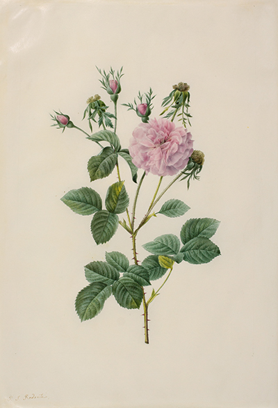 <p>Rosa gallica Agatha incarnata. L'Agathe Carneé [<em>Rosa gallica</em> Linnaeus, Rosaceae], watercolor on vellum by Pierre-Joseph Redouté (1759–1840), 38.5 × 26.7 cm, for his and Claude-Antoine Thory (1759–1827), <em>Les Roses</em> (Paris, Didot, 1817–1824, 3: pl. facing p. 77), HI Art accession no. 0043.</p>