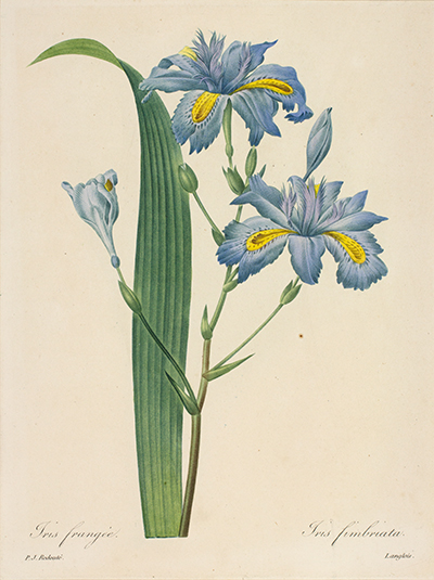 <p>Iris frangeé. Iris fimbriata [<em>Iris fimbriata</em> Ventenat, Iridaceae], stipple engraving, printed in color and finished by hand with color wash, by Langlois (fl.1827–1833), 28 × 21 cm, after an original by Pierre-Joseph Redouté (1759–1840) for his <em>Choix des Plus Belles Fleurs</em> ... (Paris, Panckoucke, 1827–1833), HI Art accession no. 0110.</p>
