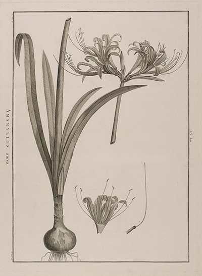 <p>Amaryllis aurea [<em>Lycoris aurea</em> (L'Héritier) Herbert, Amaryllidaceae], line engraving by Jean Baptiste Guyard Sr. (fl.1783–1803), 62 × 48 cm, after an original by Pierre-Joseph Redouté (1759–1840) for Charles Louis L'Héritier de Brutelle (1746–1800), <em>Sertum Anglicum</em> (Paris, Didot, 1788 [1789–1792], pl. 15 bis), HI Art accession no. 2089.</p>