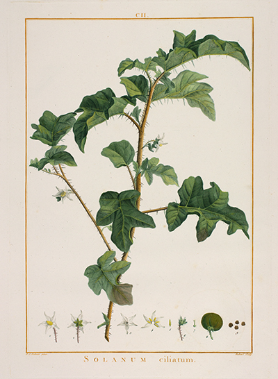 <p>Solanum ciliatum [<em>Solanum ciliatum</em> Larmarck, Solanaceae], stipple engraving, printed in color and finished by hand with color wash, by François Hubert (1744–1809), 53.5 × 39.5 cm, after an original by Pierre-Joseph Redouté (1759–1840), for Charles Louis L'Héritier de Brutelle (1746–1800), <em>Stirpes Novae</em> (Paris, Pierres, 1784–1785 [1785–1805], fasc. 7–9, pl. 102), HI Art accession no. 2214.</p>