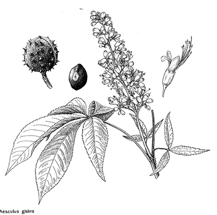 <p>Aesculus glabra [<em>Aesculus glabra</em> Willdenow, Sapindaceae], ink on paper by Leta Hughey (dates unknown), 25 × 23 cm, United States Department of Agriculture Forest Service Collection, HI Art accession no. 6725.0924.</p>