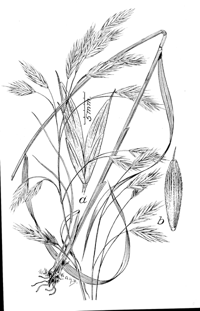 <p>Bromus porteri [<em>Bromus anomalus</em> E. Founier, Poaceae alt. Gramineae], ink on paper by A. H. Baldwin, 19 × 13 cm, Hitchcock-Chase Collection of Grass Drawings, on indefinite loan from the Smithsonian Institution, HI Art accession no. 6010.0134.</p>