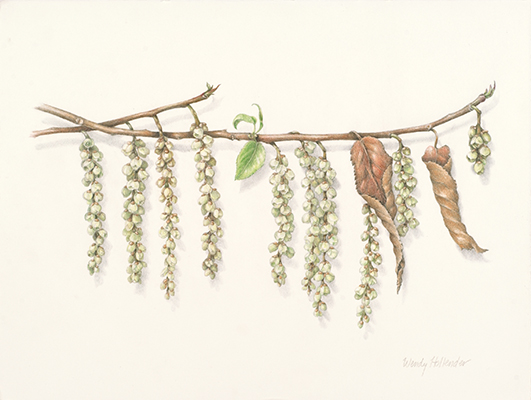 <p>Stachyurus praecox 1 [<em>Stachyurus praecox</em> Siebold & Zuccarini, Stachyuraceae], colored pencil on paper by Wendy Hollender (1954–), 2008, 30.5 × 35.6 cm, reproduced courtesy of the Brooklyn Botanic Garden.</p>