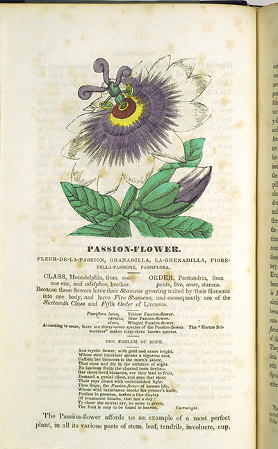 <p>Passion-flower [<em>Passiflora</em> Linnaeus, Passifloraceae], hand-colored wood engraving by an unknown engraver, 23 × 13.5 cm, after an original by Hermon Bourne (1800–?) for his <em>Flores Poetici: The Florist's Manual ... with More Than Eighty Beautifully-Coloured Engravings of Poetic Flowers</em> (Boston, Munroe & Francis; New York, Charles S. Francis, 1833, p. 26), HI Library call no. EH3 B775F.</p>