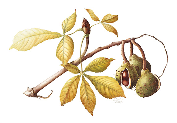 <p>Aesculus hippocastanum, Leaf &amp; Fruit [<em>Aesculus hippocastanum</em> Linnaeus, Hippocastanaceae], watercolor on paper by Elizabeth Cadman (1946–), 2003, 38 × 56.5 cm, HI Art accession no. 7634, reproduced by permission of the artist.</p>