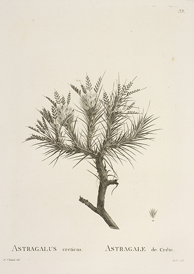<p>Astragalus creticus, Astragale de Crête [<em>Astragalus creticus</em> Lamarck, Fabaceae alt. Leguminosae], engraving by Séraphin Goulet (1746 or 1747–?) after an original by Pierre-Joseph Redouté (1759–1840) for Augustin-Pyramus de Candolle (1778–1841), <em>Astragalogia</em> (Paris, Garnery, 1802, pl. 33), HI Library call no. hDT100 136 C216A.</p>