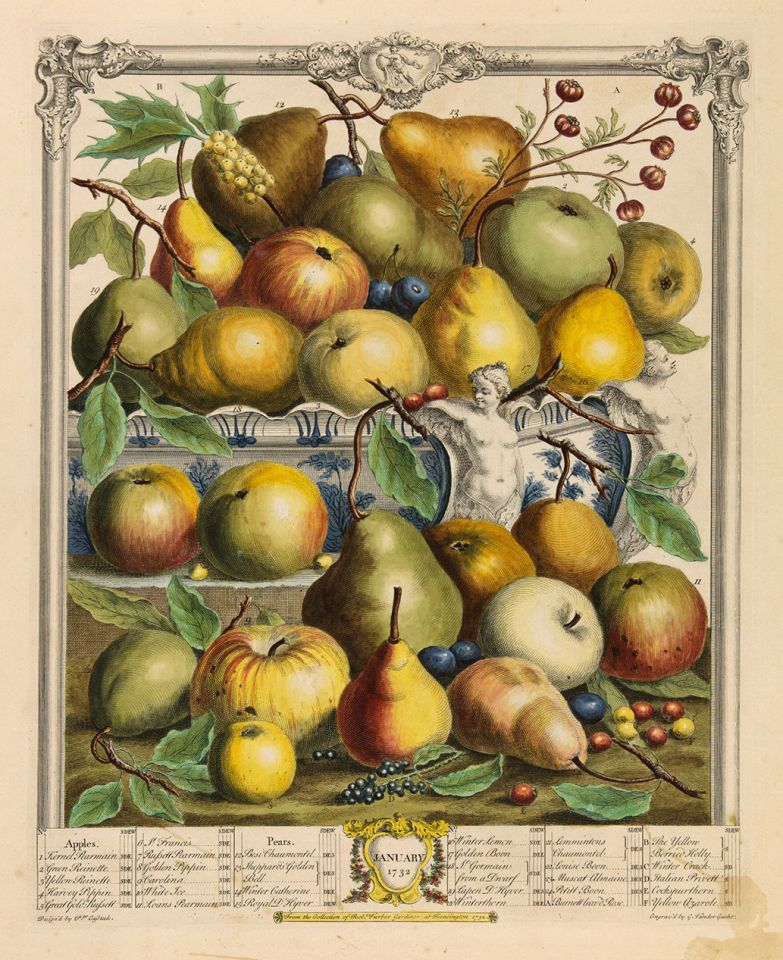<p><em>January</em>, hand-colored engraving by Van der Gucht (fl.1732) after an original by Pieter Casteels (1684–1749) for Robert Furber (ca.1674–ca.1756), <em>The Twelve Months of Fruits</em> (London, 1732), HI Art accession no. 0211.</p>