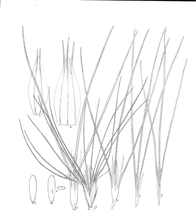 "<p>Bouteloua megapotamica (Spreng.) Kuntze [<em>Bouteloua megapotamica</em> (Sprengel) Kuntze, Poaceae alt. Gramineae], ink on paper by Mary Agnes Chase (1869–1963), 29 × 26 cm, for David Griffiths (1867–1935), ""The grama grasses: Bouteloua and related genera"" in <em>Contributions from the United States National Herbarium</em> (1912, fig. 52), Hitchcock-Chase Collection of Grass Drawings, on indefinite loan from the Smithsonian Institution, HI Art accession no. 6010.0825.</p>"