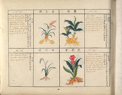 <p>[Page containing entries 33–36], watercolor for <em>Account of 814 Plants & Insects, Most of Which Are Reckoned Medicinal by the Chinese</em> (ca.1800), HI Library call no. DF6 340 C539.</p>