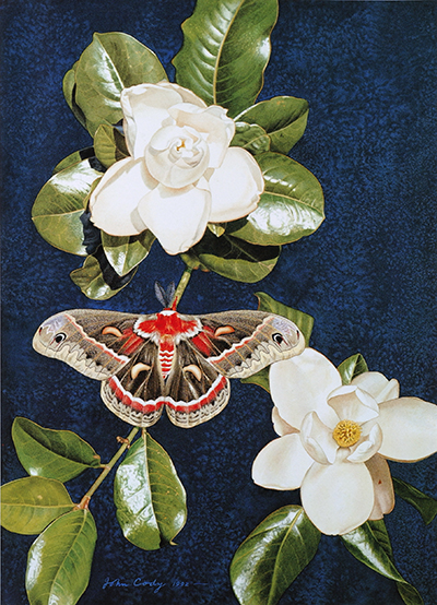 <p>Cecropia Moth, <em>Hyalophora cecropia</em>, watercolor by John Cody (1925–), 1992, reproduced by permission of the artist.</p>