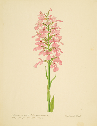 <p>Habenaria fimbriata peramoena, Large purple fringed orchis [<em>Platanthera peramoena</em> (A. Gray) A. Gray, Orchidaceae], watercolor on paper by Richard Crist (1909–1985), 31.5 × 24 cm, HI Art accession no. 6615.309, reproduced by permission of the Richard Crist Estate.</p>