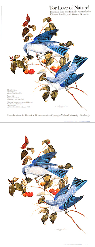 "<p>Azure-shouldered tanagers (<em>Thraupis cyanoptera</em>) and <em>Eugenia pitanga</em>, a full-color reproduction of a painting by Etienne Demonte (1931–2004), 1984, 20 x 26"", available with or without the exhibition title.</p>"