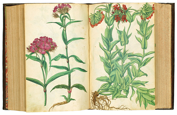 <p>[<em>From left</em>, probably <em>Dianthus barbatus</em> Linnaeus, Sweet William, and probably <em>Silene dioica</em> (Linnaeus) Clairville, Red campion, Caryophyllaceae], watercolors by an unknown artist from the 35 bound together with Dioscorides Pedanius (Anazarbos, A.D. ca.40–90), <em>De Medicinali Materia Libri Sex</em> ..., Johannes Ruellius (ca.1474–1537), ed., one of the earliest of the French botanists, with additions by Walther Hermann Ryff (fl.1539–1562) and Johannes Lonitzer (1499–1569) (Frankfurt, Chr. Egenolph, 1543); and <em>Kreutter Buch des Hochberümpten Pedanii Dioscorides Anazarbei</em> ..., transl. Johannes Dantz von Ast (Frankfurt am Main, Ciriaco Jacobizum Bart, 1546), HI Library call no. CA D594rl 543.</p>