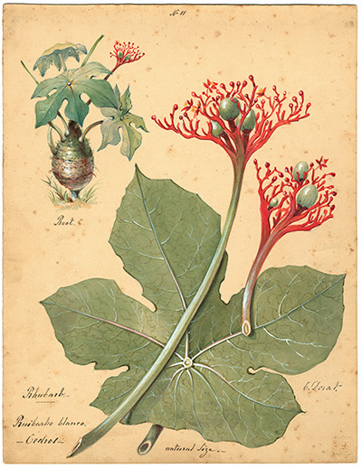 <p>No. 11, Rhubarb, Ruibarbo blanco, Cedros [<em>Jatropha podagrica</em> Hooker, Euphorbiaceae], watercolor on paper by Charles Dorat (?1806–ca.1870), 30 × 23.5 cm, HI Art accession no. 5683.11.</p>