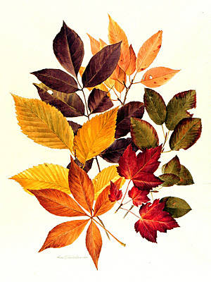 <p><em>Clockwise from above left</em>, White ash, Black cherry, Shadbrush, Red maple, Ohio buckeye, American elm [<em>Fraxinus americana</em> Linnaeus, Oleaceae; <em>Prunus serotina</em> Poiret, Rosaceae; <em>Amelanchier arborea</em> (F. Michaux) Fernald, Rosaceae; <em>Acer rubrum</em> Linnaeus, Sapindaceae; <em>Aesculus glabra</em> Willdenow, Hippocastanaceae; <em>Ulmus americana</em> Linnaeus, Ulmaceae], watercolor on paper by Anne Ophelia Todd Dowden (1907–2007), ca.1975, 49.5 × 39 cm, for her <em>The Blossom on the Bough: A Book of Trees</em> (New York, Thomas Y. Crowell, 1975, p. 14), HI Art accession no. 7410.02, Rights, except gift industry, held by Hunt Institute for Botanical Documentation.</p>