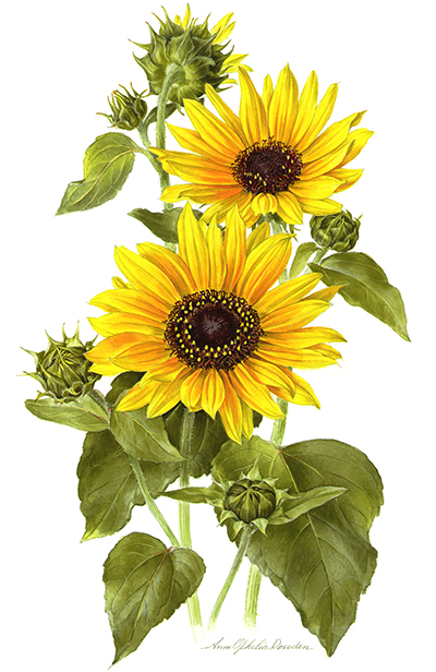 <p>Common sunflower [<em>Helianthus</em> Linnaeus, Asteraceae alt. Compositae], watercolor on paper by Anne Ophelia Todd Dowden (1907–2007), 33 × 24.5 cm, for Phyllis S. Busch, <em>Wildflowers and the Stories behind Their Names</em> (New York, 1977, p. 82), HI Art accession no. 7418.01, Rights, except gift industry, held by Hunt Institute for Botanical Documentation.</p>