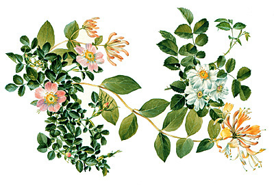 <p><em>From left</em>, Eglantine (sweet-briar), Woodbine (honeysuckle), Musk-rose (trailing rose) [<em>Rosa rubiginosa</em> Linnaeus, Rosaceae; <em>Lonicera periclymenum</em> Linnaeus, Caprifoliaceae; <em>Rosa arvensis</em> Hudson, Rosaceae], watercolor on paper by Anne Ophelia Todd Dowden (1907–2007), ca.1969, 28.5 × 39 cm, for Jessica Kerr, <em>Shakespeare's Flowers</em> (New York, T. Crowell, 1969, pp. 68–69), HI Art accession no. 5447, Rights, except gift industry, held by Hunt Institute for Botanical Documentation.</p>