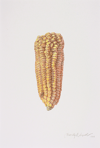 <p>Zea maize, Yellow dent corn [<em>Zea mays</em> Linnaeus, Poaceae alt. Gramineae], colored pencil on paper by Timothy C. Angell (1961–), 1998, 40.5 × 27 cm, HI Art accession no. 7385, reproduced by permission of the artist.</p>