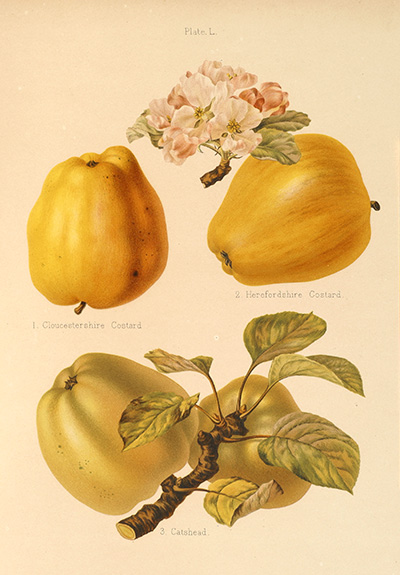 <p>1. Cloustershire Costard, 2. Herefordshire Costard, 3. Catshead [<em>Malus</em> Miller, Rosaceae], chromolithograph on paper by G. Severeyns, 37 × 29 cm, after a painting by Alice B. Ellis and Edith E. Bull for Robert Hogg and Henry Graves Bull, <em>The Herefordshire Pomona</em> (Herefordshire, Woolhope Naturalists Field Club, 1876–1885, pl. 50), HI Art accession no. 7665.</p>