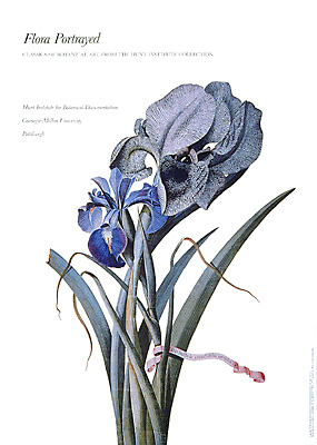 "<p>Mourning Iris and English Iris, a full-color reproduction of a painting by Georg Dionys Ehret (1708–1770), 1745, 20 × 28"".</p>"