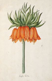 <p>Kaÿser kron [<em>Fritillaria imperialis</em> Linnaeus, Liliaceae], watercolor on paper by an unknown artist after Magdalena Rosina Funck (?Austria, fl. late 1700s), 1762, 33 × 22 cm, HI Art accession no. 0877.010.</p>