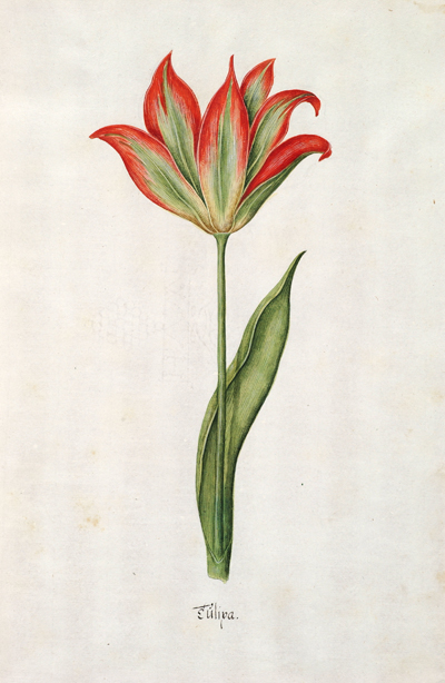 <p>Tulipa [<em>Tulipa</em> Linnaeus, Liliaceae], watercolor on paper by an unknown artist after Magdalena Rosina Funck (fl.1762), 1762, 33 × 22 cm, HI Art accession no. 0877.069.</p>