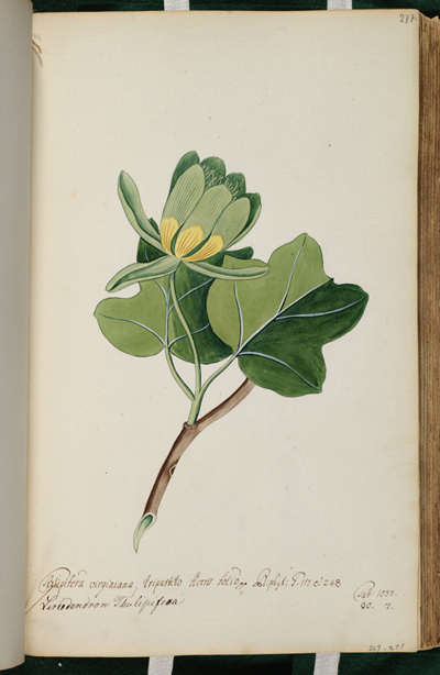 <p>Tulipifera virginiana ..., Liriodendron thulipifera [<em>Liriodendron tulipifera</em> Linnaeus, Magnoliaceae], watercolor on paper by Andreas Friedrich Happe (1733–1802), 36 × 22 cm, HI Art accession no. 0869.277.</p>