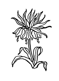 <p><em>Fritillaria imperialis</em> Linnaeus, Liliaceae, crown imperial, was one of Rachel Hunt's favorite garden flowers and was a logical choice for the Hunt Institute's logo. This early version was used in our first decade.</p>