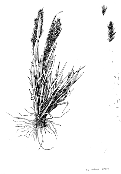 <p>[<em>Agrostis</em> Linnaeus, Poaceae alt. Gramineae], ink on paper by Albert Spear Hitchcock (1865–1935), 29 × 20.5 cm, Hitchcock-Chase Collection of Grass Drawings, on indefinite loan from the Smithsonian Institution, HI Art accession no. 6010.0088.</p>