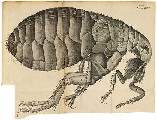 <p>[Flea], engraving by an unknown engraver after an original by Robert Hooke (1635–1703) for his <em>Micrographia, or Some Physiological Descriptions of Minute Bodies Made by Magnifying Glasses with Observations and Inquiries Thereupon</em> (London, Printed by J. Martyn and J. Allestry, 1665, pl. 34), HI Library call no. BA1 H782M RR.</p>