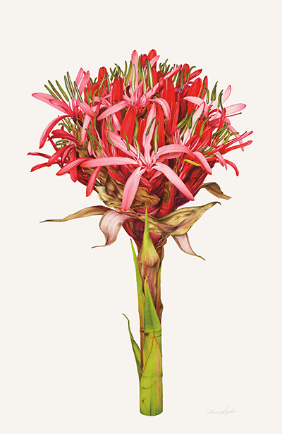 <p>Doryanthes excelsa [<em>Doryanthes excelsa</em> Corrêa, Amaryllidaceae], watercolor on paper by Annie Hughes (1948–), 2009, 89 × 62.5 cm, HI Art accession no. 7890, reproduced by permission of the artist.</p>