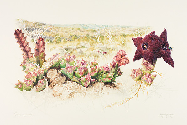<p>Aasblom (Carrion flower); Orbea melanantha (=Orbeopsis melanantha) [<em>Orbea melanantha</em> (Schlechter) Bruyns, Asclepiadaceae], watercolor and gouache on illustration board by Jenny Hyde-Johnson (1955–), 2015, 43.5 × 57.5 cm, HI Art accession no. 8149, reproduced by permission of the artist.</p>