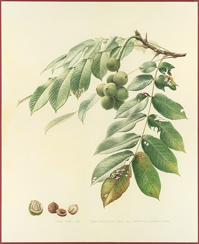 <p>Japanese walnut; Juglans mandshurica Maxim var. sachalinensis [<em>Juglans mandshurica</em> Maximowicz, Juglandaceae], watercolor and graphite on vellum by Mariko Ikeda (1981–), 2014, 65 × 53 cm, HI Art accession no. 8138, reproduced by permission of the artist.</p>