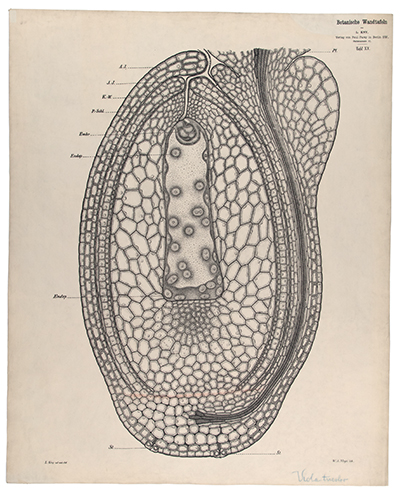 <p>[Longitudinal section of the ovule in <em>Viola tricolor</em> Linnaeus, Violaceae], lithograph by W. A. Meyn (fl.1874–1911), 81.5 × 66 cm, after an original by Carl Ignaz Leopold Kny (1841–1916) for his <em>Botanische Wandtafeln</em> (Berlin, Paul Parey, 1874–1911, pl. 20), HI Art accession no. 6699.020.</p>