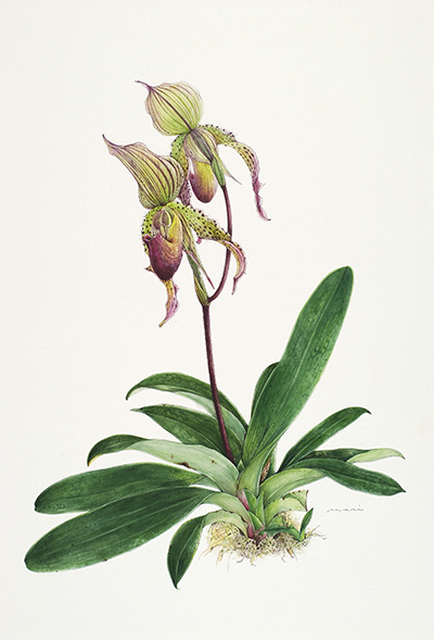 <p>Paphiopedilum callosum × Paphiopedilum mostons [<em>Paphiopedilum</em> Pfitzer, Orchidaceae], watercolor on paper by Mariko Kojima (1937–), 51 × 36 cm, HI Art accession no. 7577, reproduced by permission of the artist.</p>