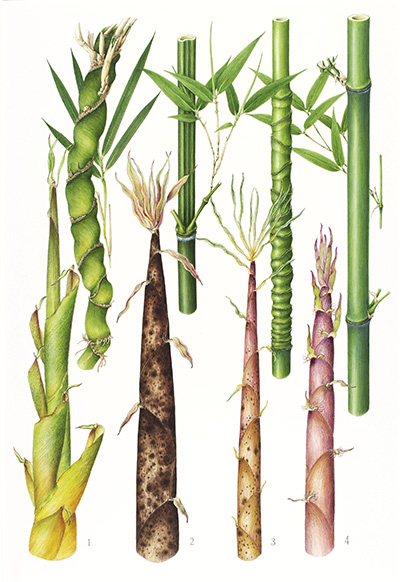 <p>Bamboos and bamboo shoots: 1. Pleioblastus gramineus f. monstrispiralis; 2. Phyllostachys bambusoides; 3. P. aurea; 4. P. nigra f. henonis [1. <em>Pleioblastus gramineus</em> Nakai, 2. <em>Phyllostachys bambusoides</em> Siebold & Zuccarini, 3. <em>P. aurea</em> Carrière ex Rivière & C. Rivière, 4. <em>P. nigra</em> var. <em>henonis</em> (Mitford) Rendle, Poaceae alt. Gramineae], acrylic and gouache on paper by Mieko Konishi (1945–), 53 × 36 cm, HI Art accession no. 7323, reproduced by permission of the artist.</p>