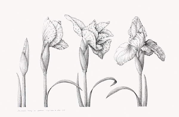 <p>Iris, Iris ensata var. spontanea forma alba Y.N. Lee [<em>Iris ensata</em> Thunberg, Iridaceae], pen-and-ink on illustration board by Kyung-Min Lee (1974–), 2009, 38 × 51 cm, HI Art accession no. 8032, reproduced by permission of the artist.</p>
