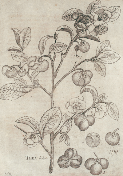 <p>Thea bohea [<em>Camellia sinensis</em> (Linnaeus) Kuntze, Theaceae], engraving by an unknown engraver after an original by an unknown artist for Pehr Cornelius Tillaeus (1747–1827), <em>Potus Thaeae</em> (Uppsala, 1765), Linnaean Dissertations, Lidén no. 142, Strandell Collection of Linnaeana, HI Library. The first living plants of tea were brought to Sweden in 1763 with help from Linnaeus. This dissertation discussed the plant, its preparation and uses, the qualities of tea and its medicinal use.</p>