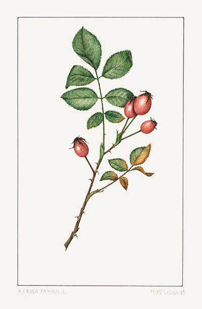 <p>Rosa canina L. [<em>Rosa</em> Linnaeus, Rosaceae], watercolor on paper by Petr Liska (1953–), 1981, 24 × 16.5 cm, HI Art accession no. 6463, reproduced by permission of the artist.</p>