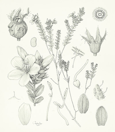 <p>Microlicia cogniauxiana - Melastomataceae [<em>Microlicia cogniauxiana</em> R. Romero, Melastomataceae], pen-and-ink on paper by Rogério Lupo (1970–), 2014, 41 × 33 cm, HI Art accession no. 8122, reproduced by permission of the artist.</p>