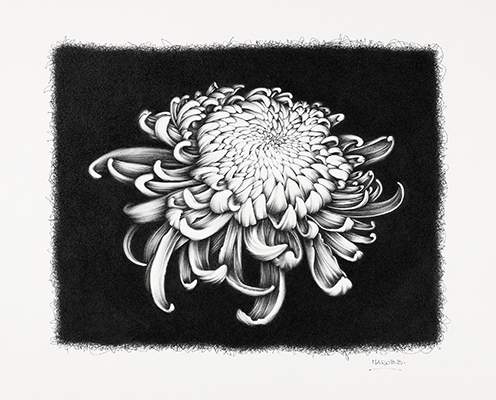 <p>Chrysanthemum #2 [<em>Chrysanthemum</em> Linnaeus, Asteraceae alt. Compositae], Biro (Pilot fine point) drawing on paper by Roberta Mattioli (1967–), 2010, 32.7 × 41 cm, HI Art accession no. 7980, reproduced by permission of the artist.</p>