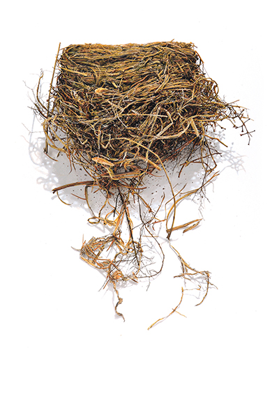 "<p>Bird Nest Series No.1, colored pencil on paper by David Morrison, 2014, 13 × 19"", reproduced by permission of the artist.</p>"