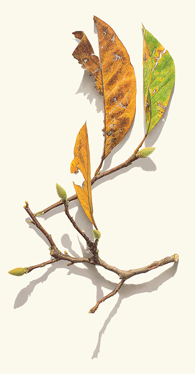 <p>Magnolia Branches Series #2 [<em>Magnolia</em> Linnaeus, Magnoliaceae], colored pencil on paper by David Morrison (1956–), 2012, 87 × 51.5 cm, HI Art accession no. 8047, reproduced by permission of the artist.</p>